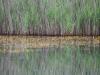 utricularia-australis-103