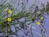 utricularia-australis-104