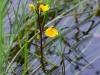 utricularia-australis-106