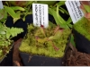 2017-05-13_14745-heliamphora-sarracenioides