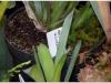 2017-05-13_14767-brocchinia-hectioides