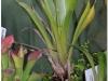 2017-05-13_14769-brocchinia-hectioides