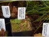 2017-05-13_14776-drosera-erythrorhiza-ir-kt