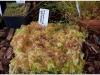 2017-05-13_14780-drosera-rotundifolia