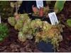 2017-05-13_14785-nepenthes-ampullaria