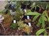 2017-05-13_14786-nepenthes-ampullaria-ir-kt