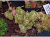 2017-05-13_14965-nepenthes-ampullaria