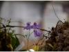 2017-05-13_15188-skendenio-ziedas