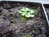 Byblis liniflora