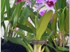 2017-05-13_14946-laelia-purpurata-var-flamea