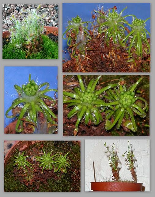 Drosera scorpioides įvairiose vystymosi stadijose: intensyviai auganti ir formuojanti vegetatyvinius pumpurus