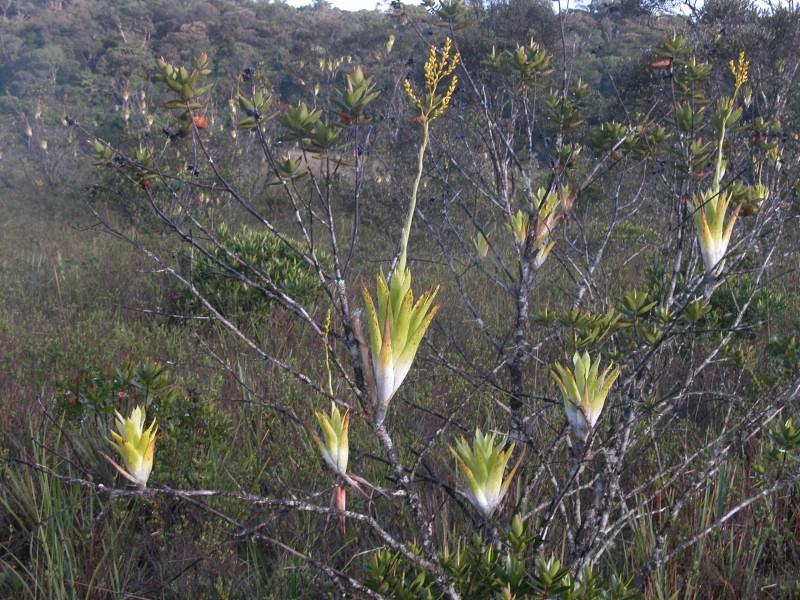 Catopsis berteroniana – a carnivorous epiphytic tank bromeliad