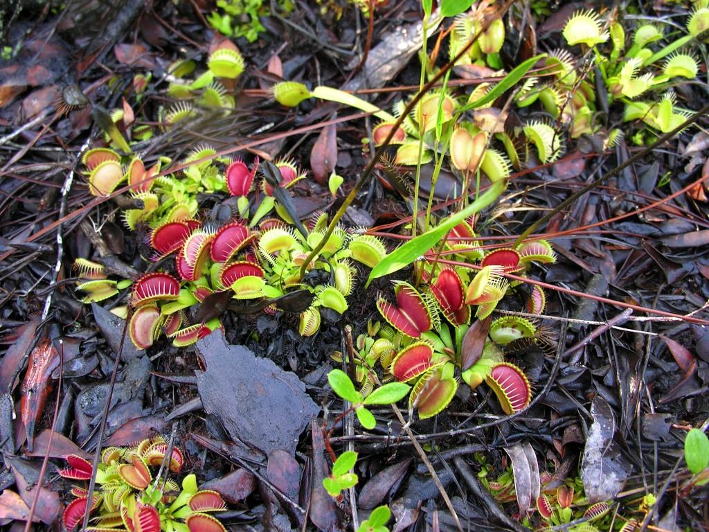 Dionaea muscipula (3)