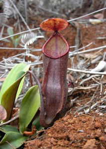 A lower pitcher of N. vieillardii on New Caledonia