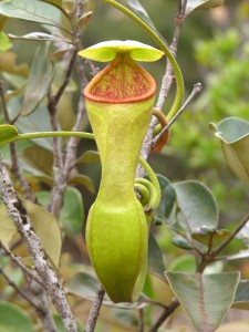 An Upper pitcher of N. vieillardii
