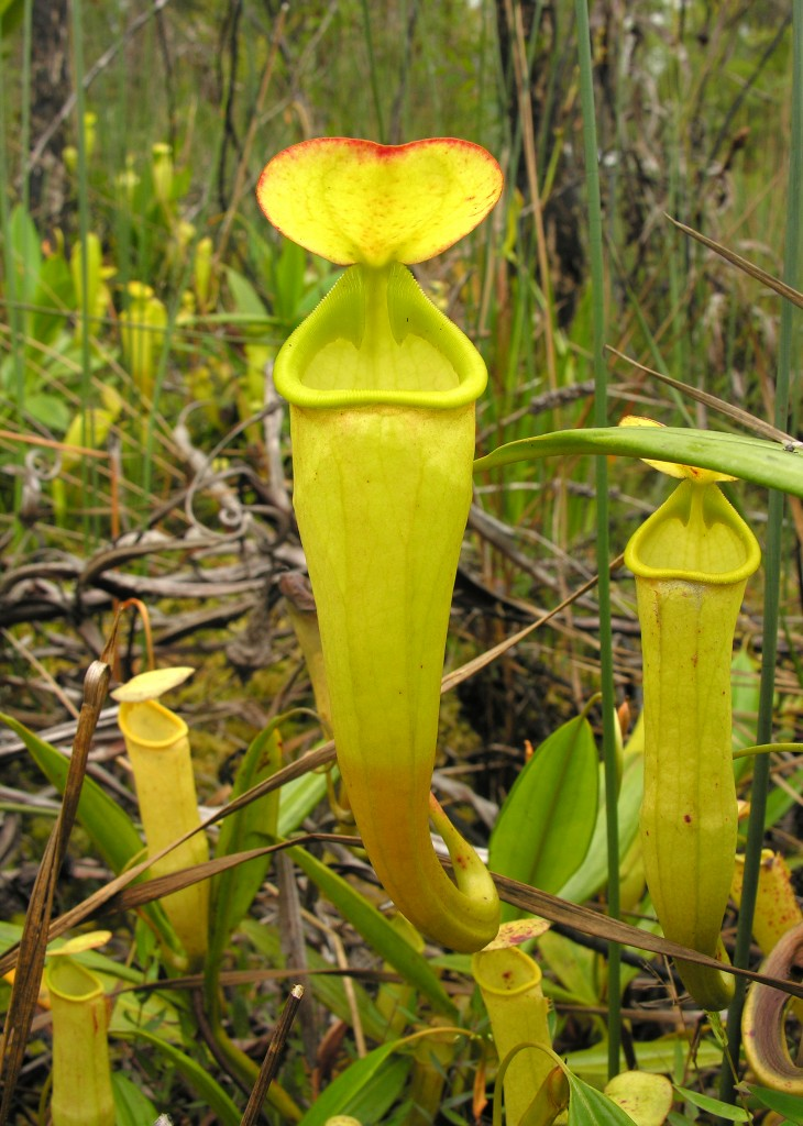The spectacular pitchers of Nepenthes madagascariensis