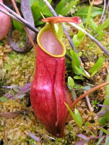 The lower pitcher of Nepenthes madagascariensis