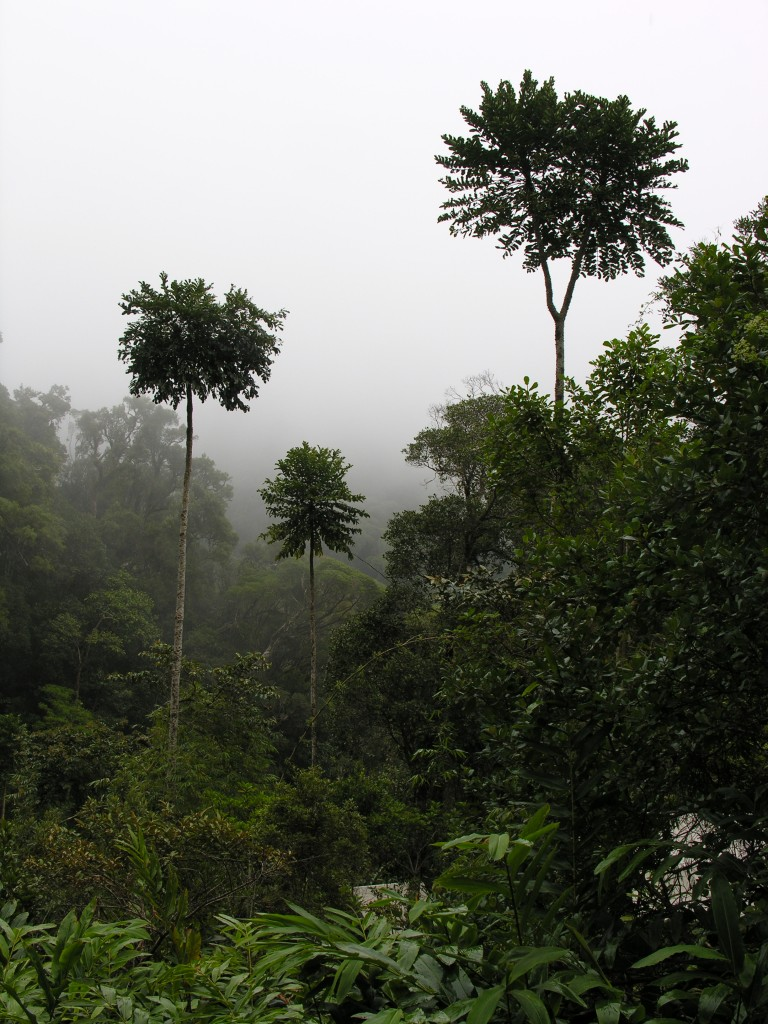 The rainforest of the lower slopes of Mount Marojejy