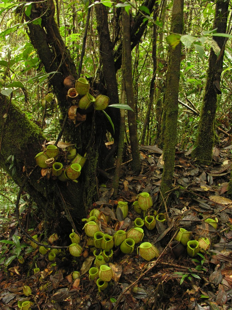 The spectacular clusters of pitchers produced by a  Nepenthes ampullaria plant