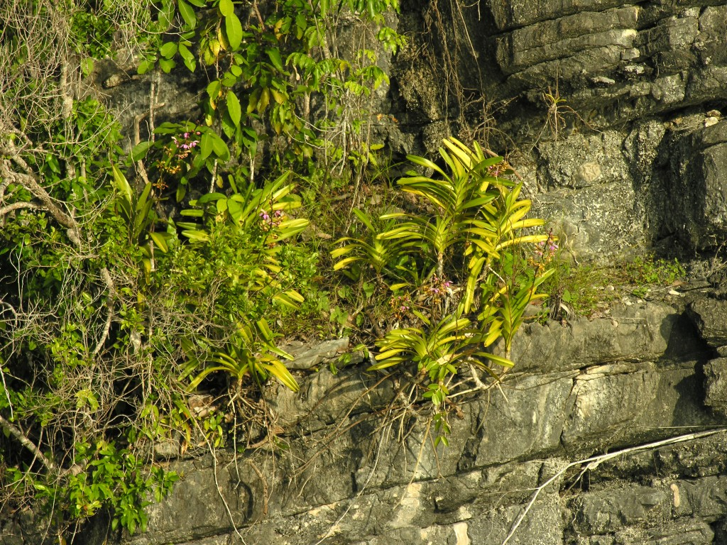 A Vanda Orchid growing directly on the cliff side of Misool