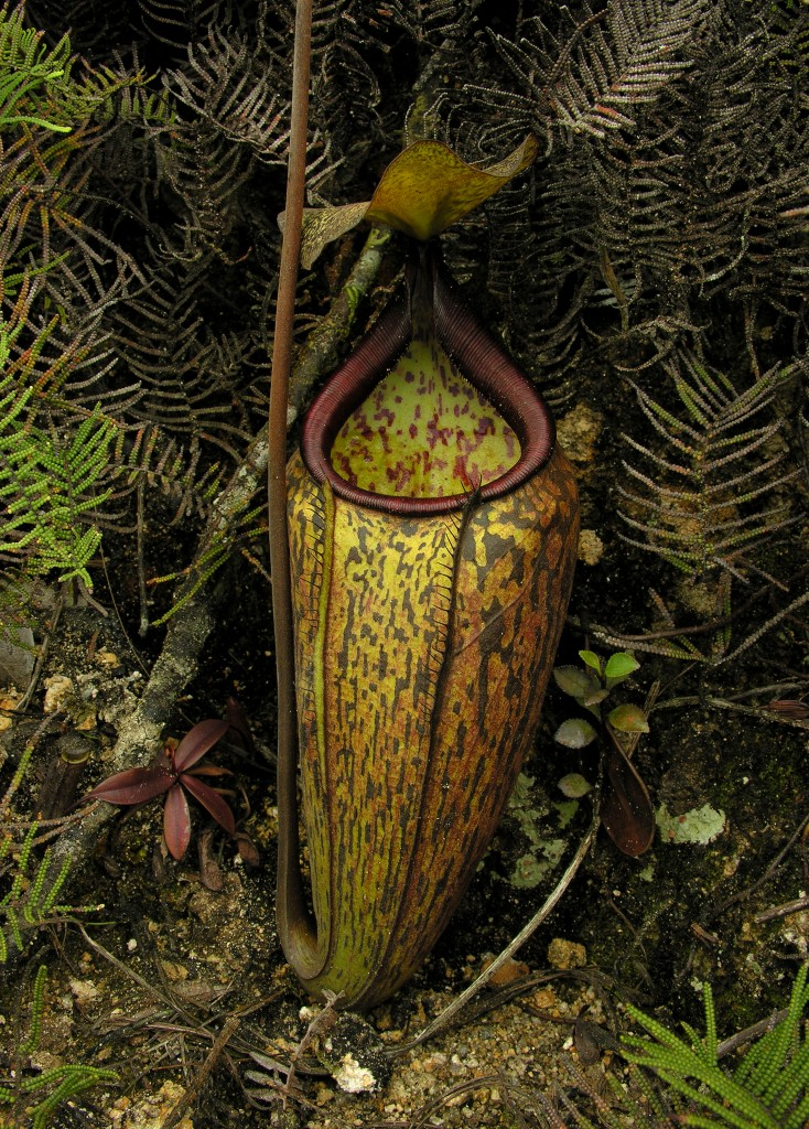 The lower of Nepenthes macfarlanei