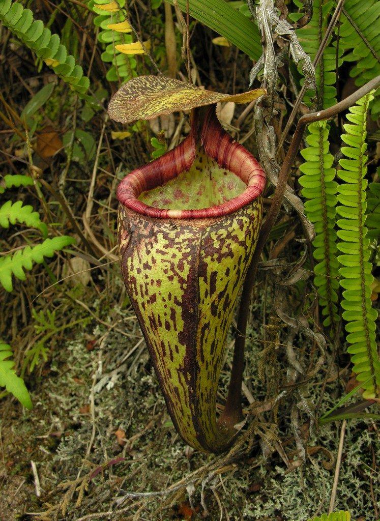 Nuostabus viršutinis Nepenthes macfarlanei ąsotis