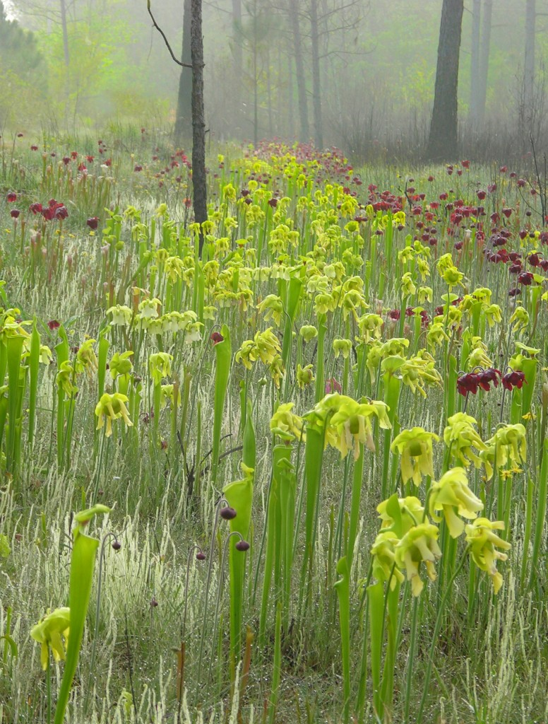 Sarracenia flava and Sarracenia leucophylla growing naturally in Alabama, USA