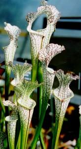 Cultivated Sarracenia leucophylla plants