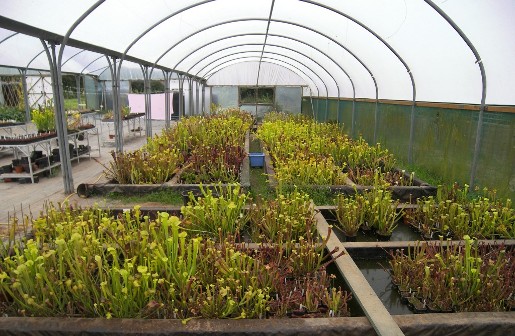 A commercial nursery in England selling Sarracenia plants