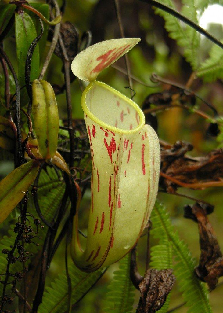 Nepenthes glabrata ąsotis
