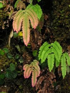 Pink Ferns