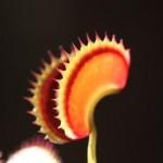 Dionaea. Venus Flytrap