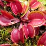 Dionaea muscipula 'Red Dentate'