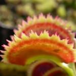 Dionaea muscipula 'Dentate'