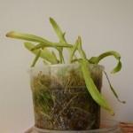 Utricularia longifolia, 2013-05-08