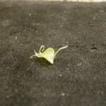 Utricularia nelumbifolia x reniformis