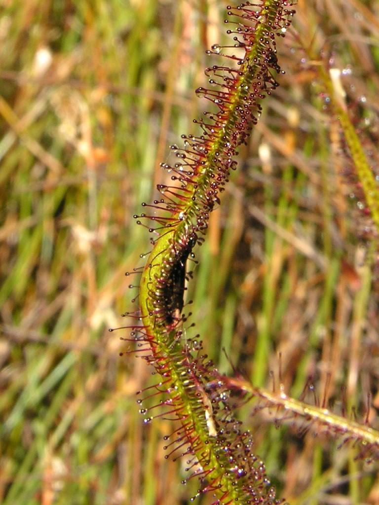 Retos rūšies Drosera regia lapas, pagavęs bitę