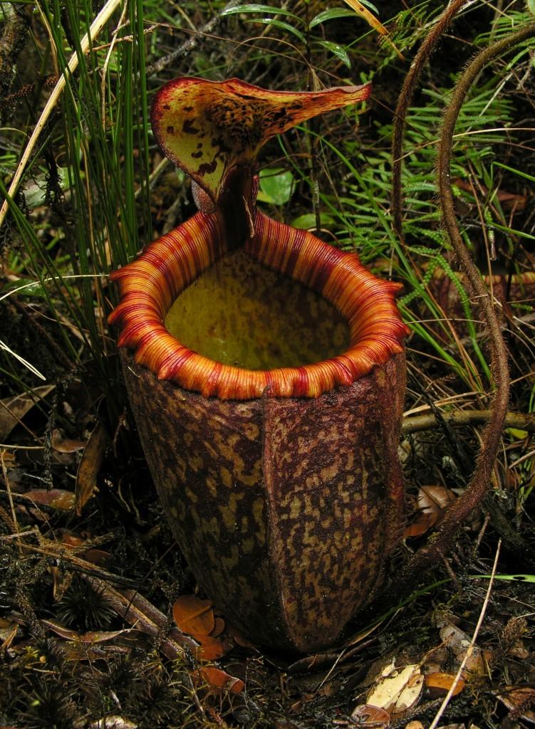 Nuostabūs Nepenthes peltata ąsočiai