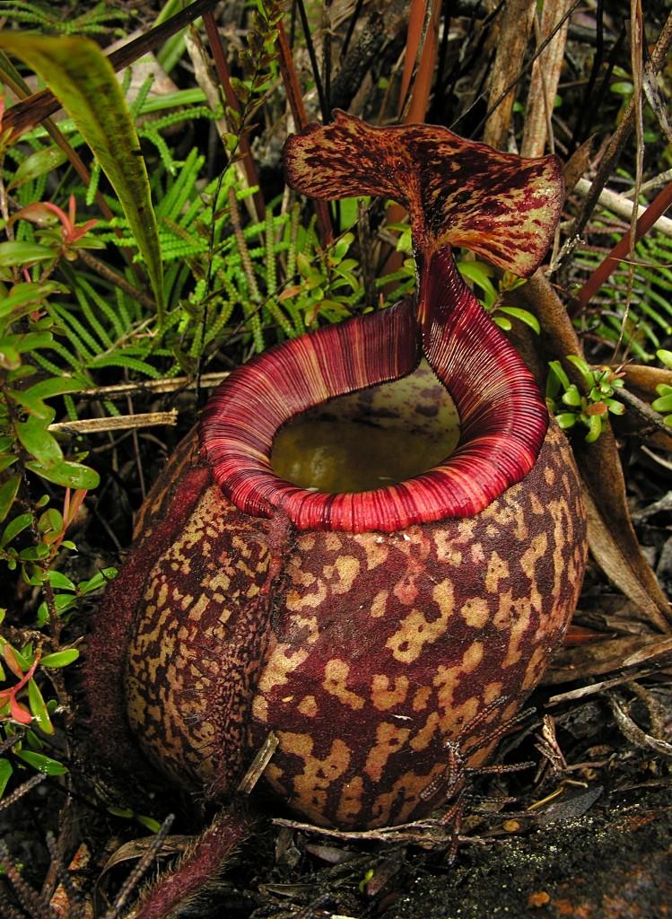 Nepaprastai nuostabus Nepenthes peltata ąsotis