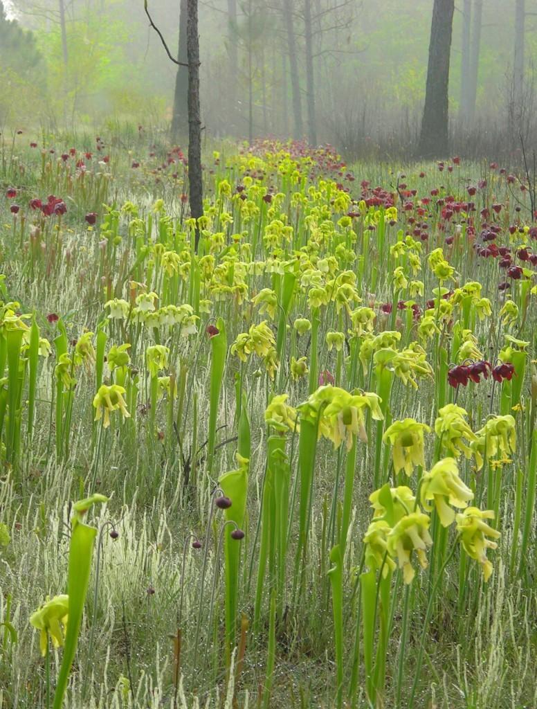 Natūraliai Alabamoje (JAV) augančios Sarracenia flava ir Sarracenia leucophylla