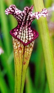 Melsvalapė saracėnija - Sarracenia leucophylla