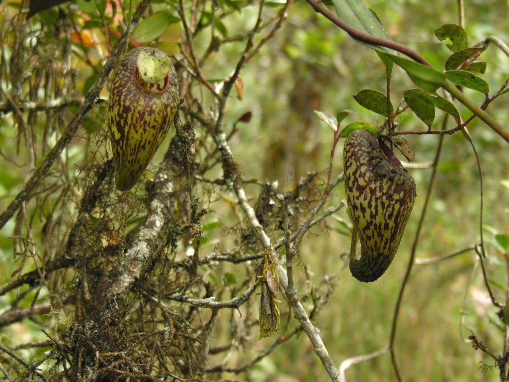 N. aristolochioides augantys Sumatroje