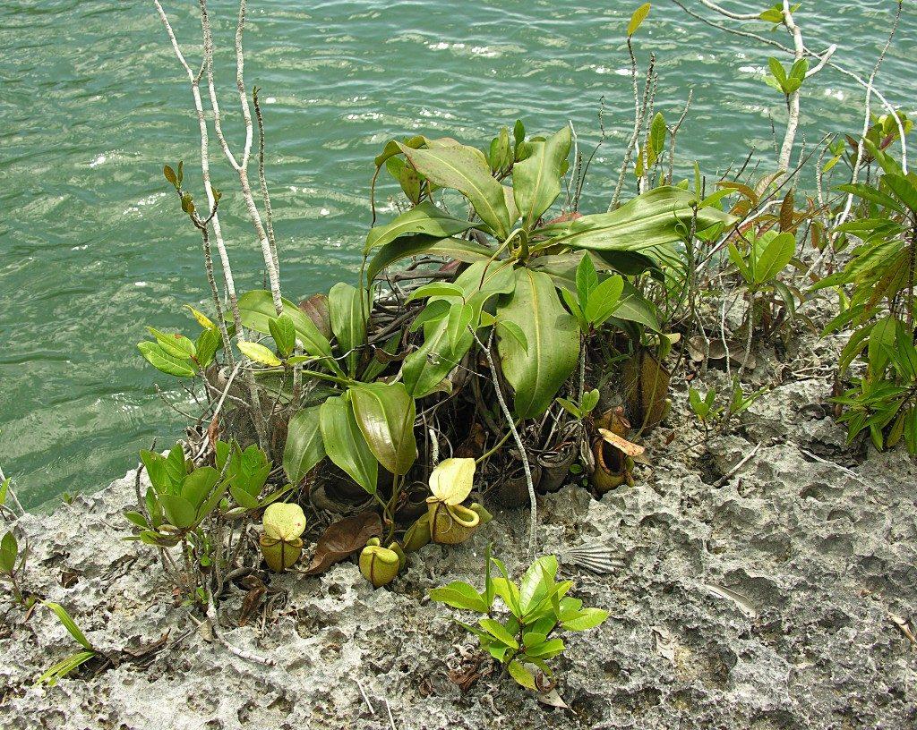 Augantis MacClu įlankos vandenyno pakrantėje N. treubiana