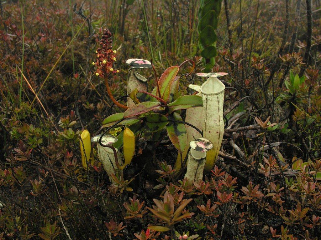 Nuostabūs Nepenthes alba ąsočiai