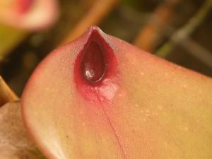 Tipinė H. exappendiculata forma. Atkreipkite dėmesį į nektaro šaukštelį viršutiniame lapo paviršiuje