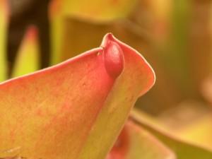 Tipinė H. exappendiculata forma. Atkreipkite dėmesį į nektaro šaukštelį apatiniame lapo paviršiuje
