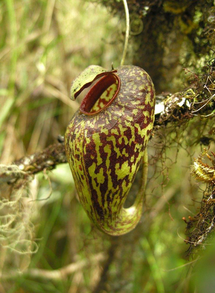 Nepenthes aristolochioides