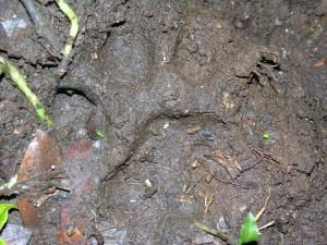 Didelės katės pėdos įspaudas - greičiausiai sumatros tigro