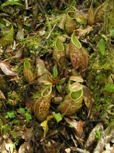 Nuostabūs Nepenthes gymnamphora ąsočiai
