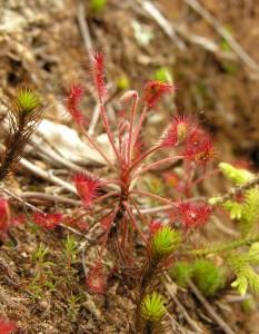 Nuostabūs lipnūs Drosera madagascariensis lapai